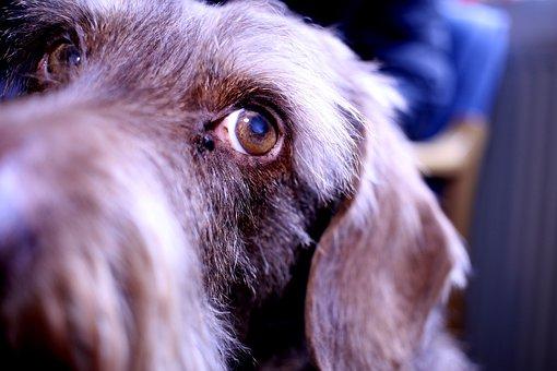 Dog, Dachshund, Pet, Eye, Animal