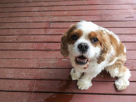 Pedigree, Dog, Cute, Pet, Purebred, Canine, Friend