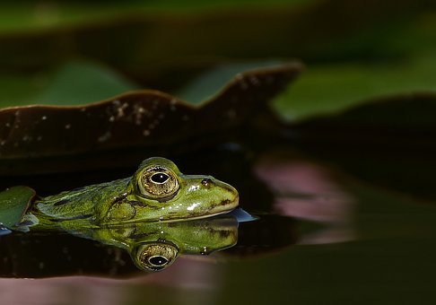 Frog, Pond, Garden Pond, Water Lily, Green, Water