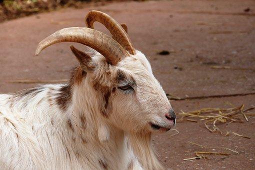 Goat, Animal, Sheep, Farm, Nature, Livestock, Mammal