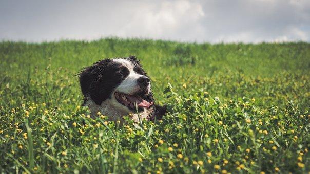 Dog, Field, Border Collie, Animal, Pet, Hundeportrait