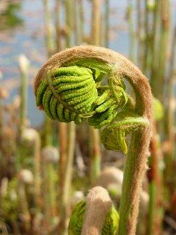 Fern, Spring, Growth, Plant, Leaf, Nature, Green