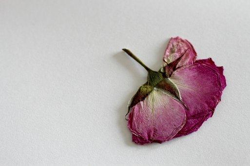 Rose, Dry Flower, Blossom, Bloom, Macro, Summer, Herbs
