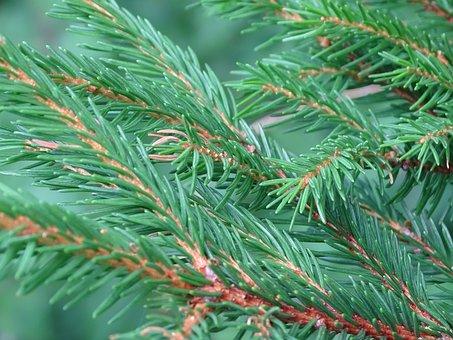 Tree, Fir, Tannenzweig, Christmas Tree, Conifer