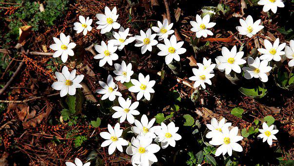Flowers, Anemones, White, Forest, Spring, Vegetation