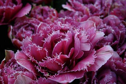 Flower, Tulip, Violet, Cut Flowers, Plant