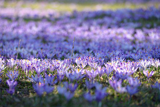 Crocus, Polyana, Spring, Flowers, Mountains, Violet