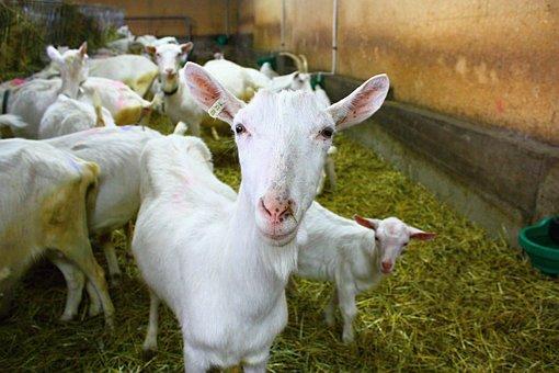 Goat, Farm, White Goat