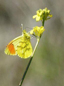 Yellow Butterfly, Aurora Yellow, Wild Flower, Libar