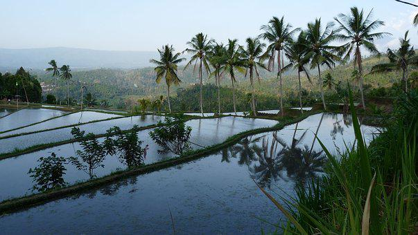 Bali, Rice Field, Reflections, Indonesia, Palm