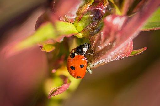 Ladybug, Macro, Nature, Insect, Beetle, Close, Points