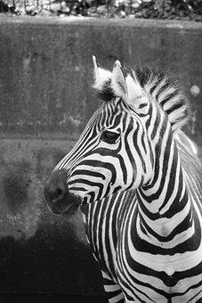 Zebra, Zoo, Black And White, Zebra Crossing, Mammal