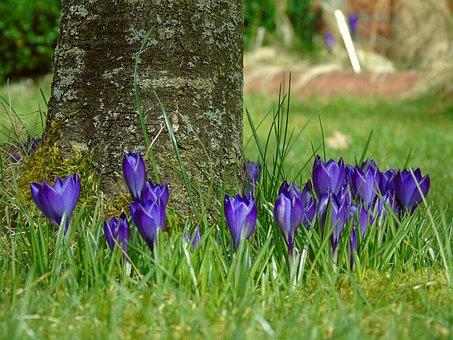 Crocus, Blue, Garden, Spring, Flower, Purple, Flowers