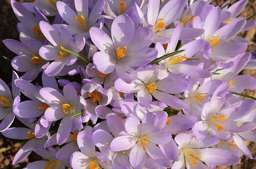 Crocus, Flowers, Spring, Nature, Blooming, Cluster