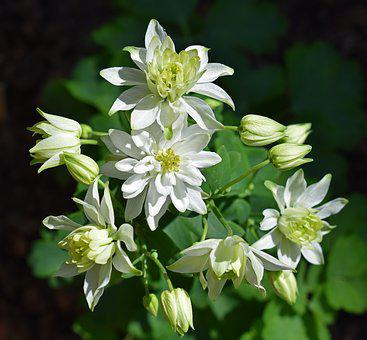 Columbine, Full Bloom, Double, Flower, Blossom, Bloom