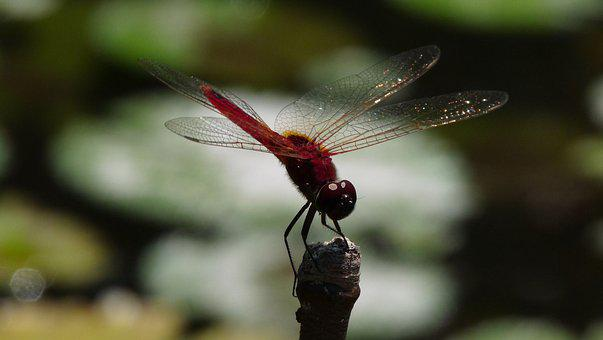 Dragonfly, Insect, Nature, Red, Marsh, Macro