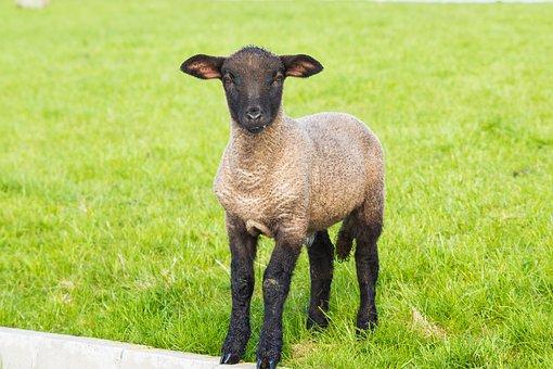 Lamb, Easter, Schäfchen, Animal, Spring, Nature, Sheep
