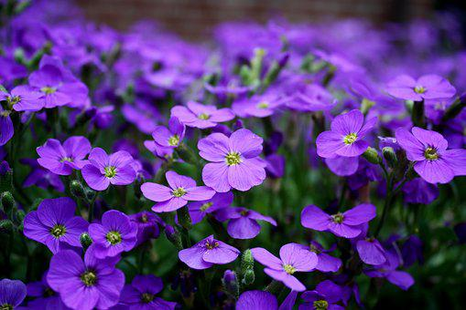 Flowers, Purple, Ground Cover, Close, Purple Flower