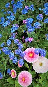 Forget Me Not, Bellis, Tausendschön, Spring Flowers