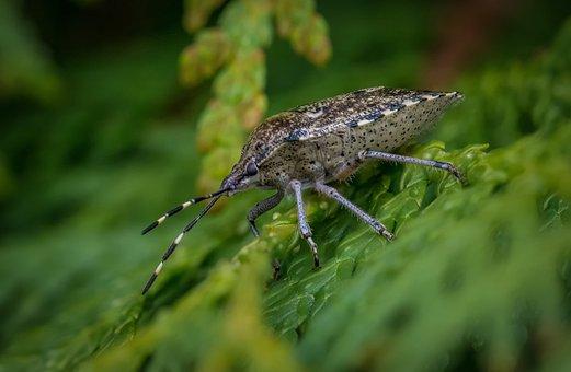 Bug, Grey Garden Bug, Beetle, Garden, Nature, Insect