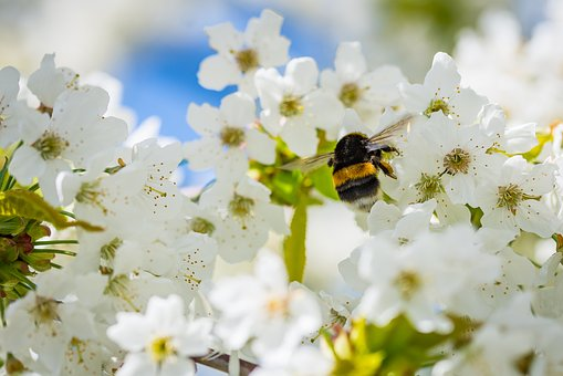 Hummel, Cherry Blossom, Collect Nectar, Insect, Pollen