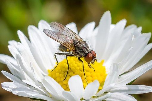 Flower Fly, Fly, Daisy, Sprinkle, Macro, Meadow