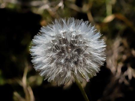 Plant, Nature, Fragile, Dandelion, Spring, Flora