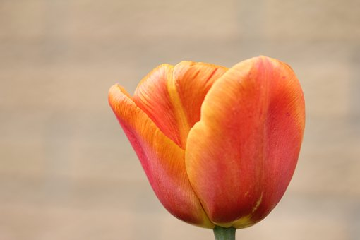 Tulip, Orange, Flower, Sunny, Plant, Spring, In Flower