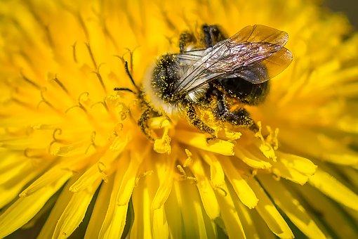 Hummel, Dandelion, Flower, Yellow, Pointed Flower
