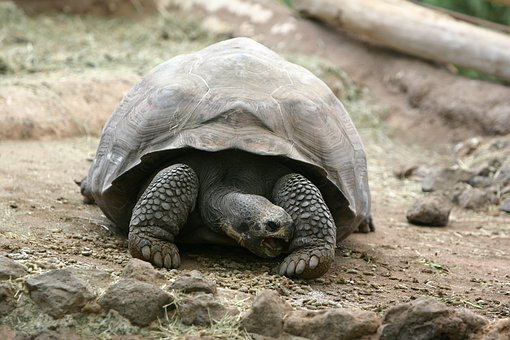 Turtle, Nature, Animal, Zoo, Animals, Shield, Tortoise