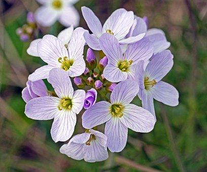 Smock, Flowers, Bud, Umbel, Spring Meadow, Wild Flowers