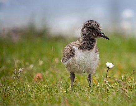 Oystercatcher, Sea, Water Bird, Bird, Baltic Sea