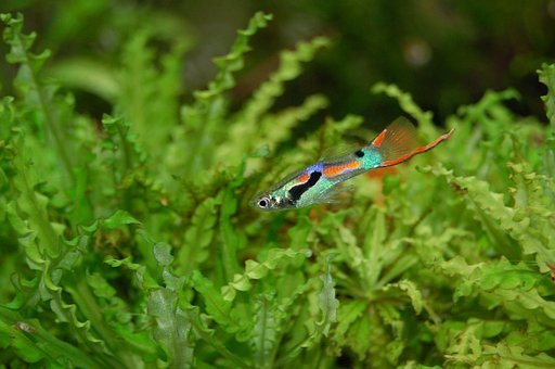 Guppy, Fish, Colorful, Color, Water Creature