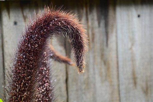 Autumn, Poaceae Pennisetum Setaceum, Plant, Brown
