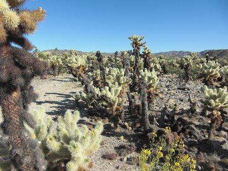 Cholla Cactus, California, Nature, Landscape
