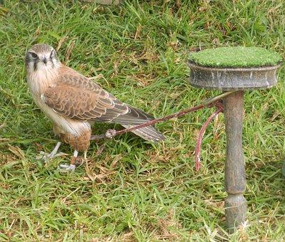 Hawk, Tethered, Restrained, Grass, Bird, Flight