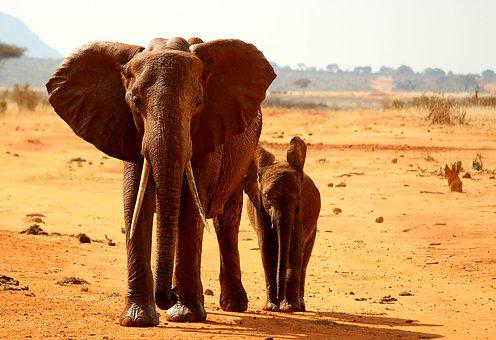 Elephant, Tsavo, Young, Animal, Africa, Safari