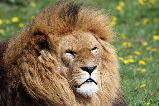 Lion, Mane, Animal, Wildlife, Predator, African, Head