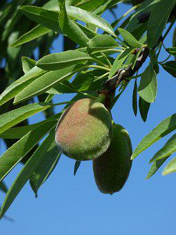 Almond, Almond Tree, Spring, Leaves, Sky, Dried Fruits