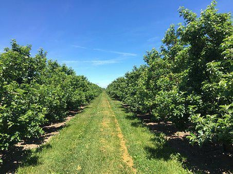 Apple Trees, Orchard, Tree, Apple, Nature, Agriculture