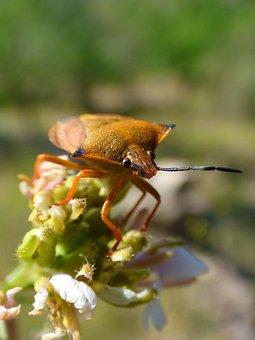 I Pentatomid, Dolycoris Baccarum, Beetle, Detail