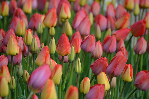 Tulips, Spring, Colorful, Flowers, Bloom, Blossom