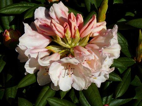 Azalea, Pink, Blossom, Bloom, Rhododendron, Spring