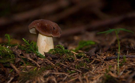 Boletus, Fungus, Forest, Mushrooms, Boletus Edulis