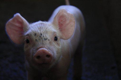 Pork, Breeding, Little Piggy, Animal