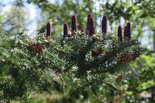 Conifer, Cones, Nature, Pinecone, Tree