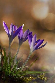 Crocus, Spring, Flower, Purple, Blossom, Bloom