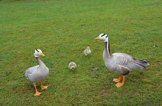 Ducks, Family, Animals, Wild Duck, Nature, Ducklings