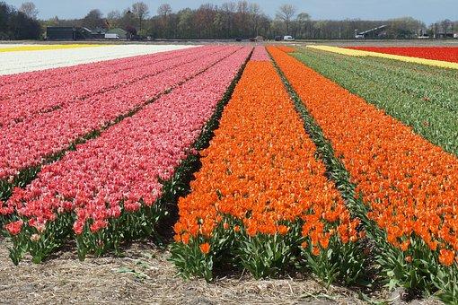 Field Of Flowers, Tulips, Spring Flowers, Fields