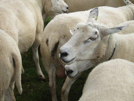 Sheep, Flock, Animals, Flock Of Sheep, Wool, Pasture